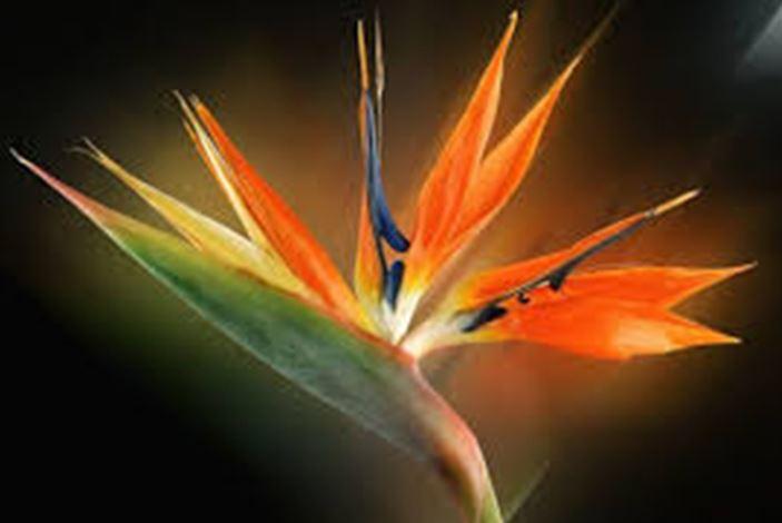 La Fleur De L Oiseau Du Paradis